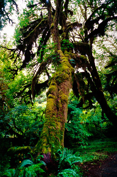 Hoh Rainforest, Olympic National Park (Day 65)