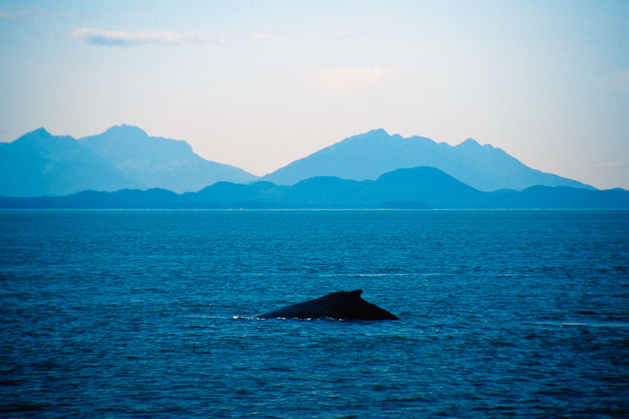 Humpback whale, Juneau (Day 99)