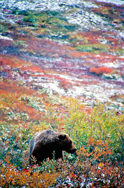 Bear in Autumn foliage, Denali National Park (Day 111)