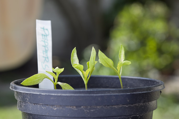 Capsicum Pepper Seedlings