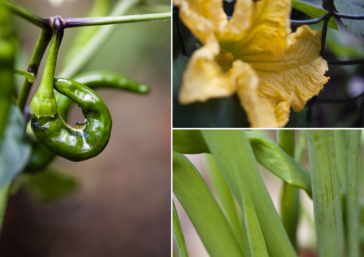 Chillis, a pumpkin flower and spring onions in our Brighton garden