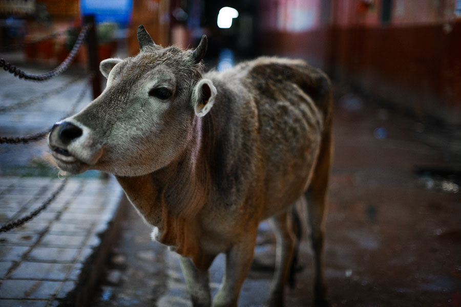Rishikesh cow at night