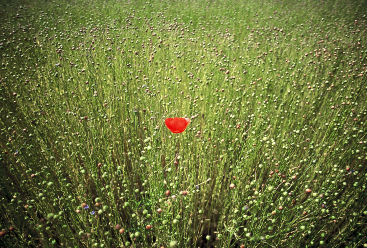 Poppy in a field outside of Sommervieule [Day 15]